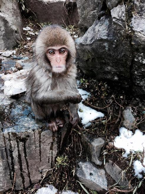 yamanouchi-snow-monkeys-baby-monkey-2016